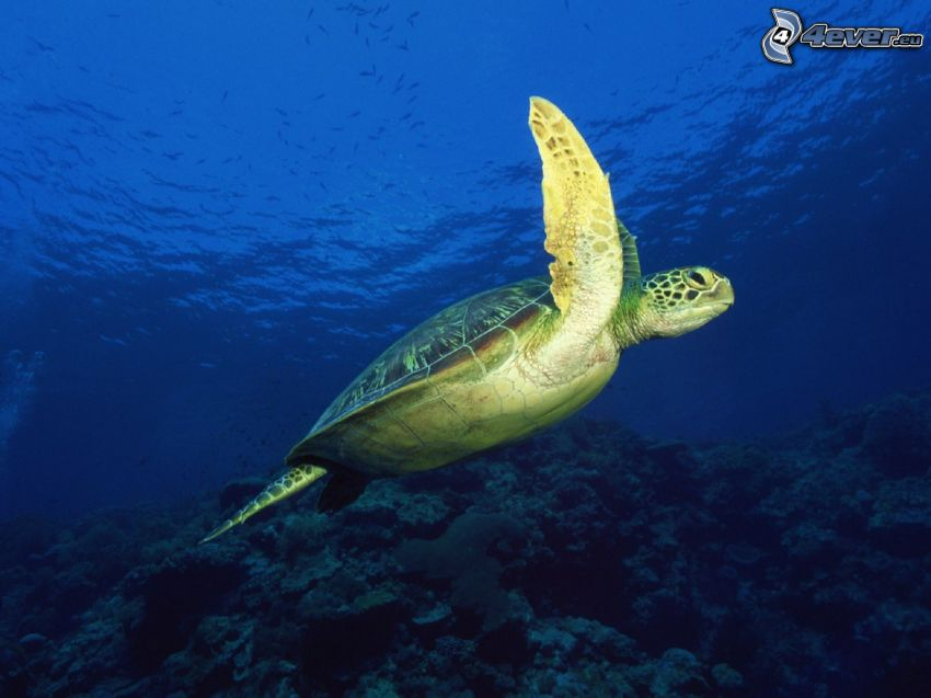 tartaruga, fondale marino, acqua