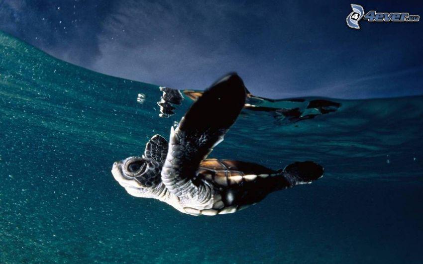 tartaruga marina, cucciolo, acqua
