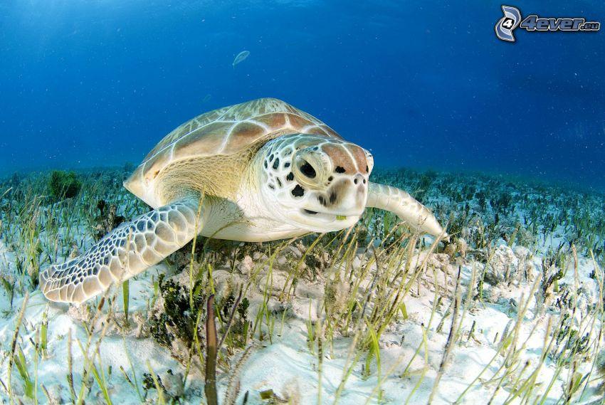 tartaruga marina, fondale marino, acqua