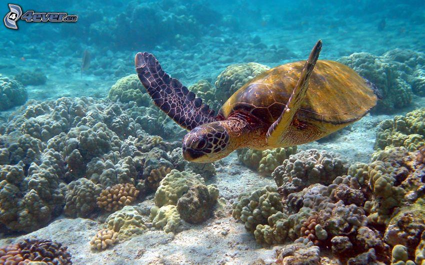 tartaruga marina, fondale marino