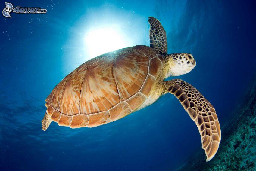 tartaruga marina, raggi di sole nel mare
