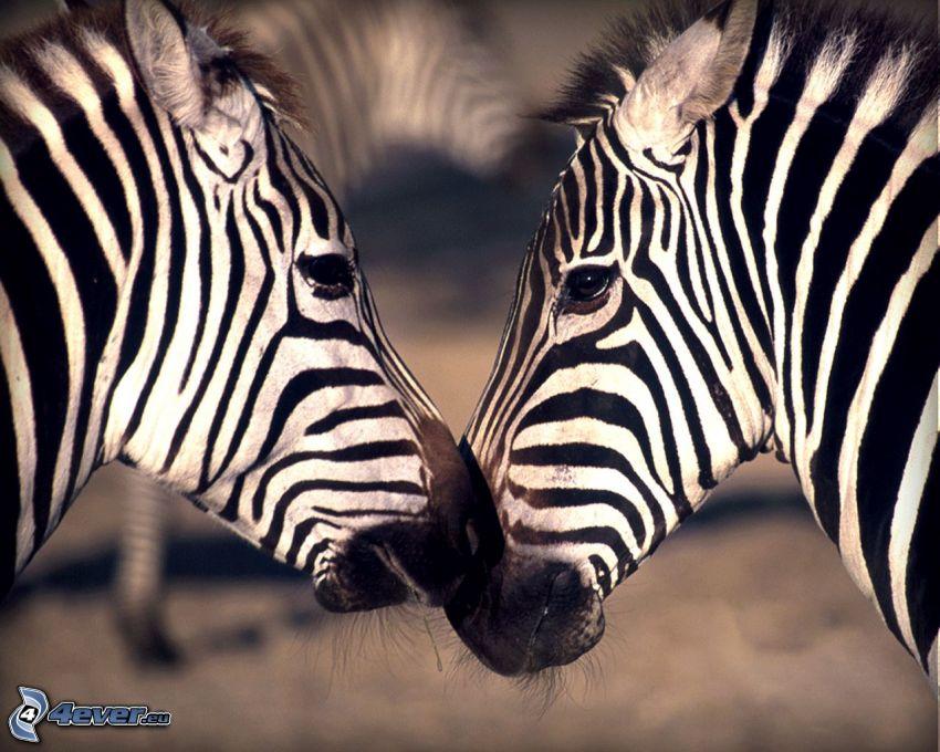 zebre, bacio