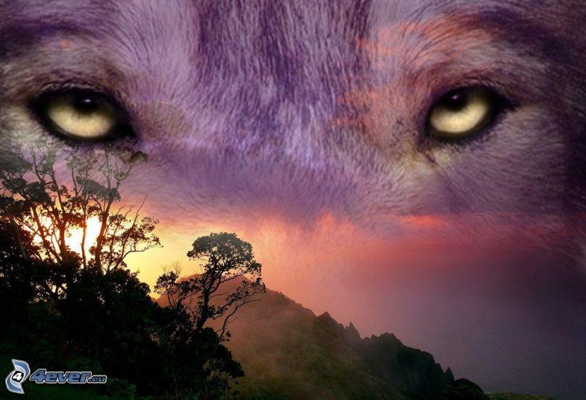 lupo, occhi, montagna, alberi, levata del sole