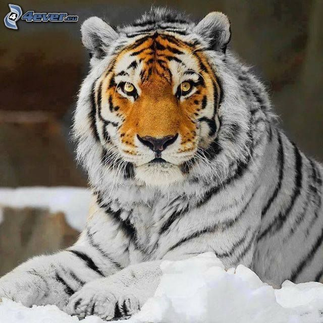 tigre, neve, Photoshop