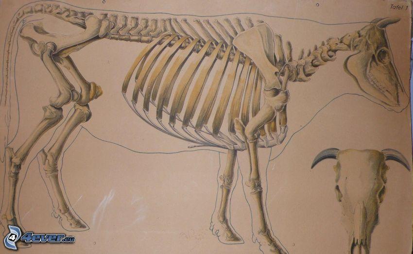 mucca, scheletro