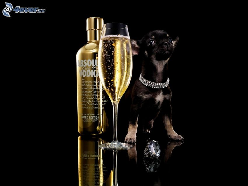 Absolut Vodka, champagne, cucciolo nero