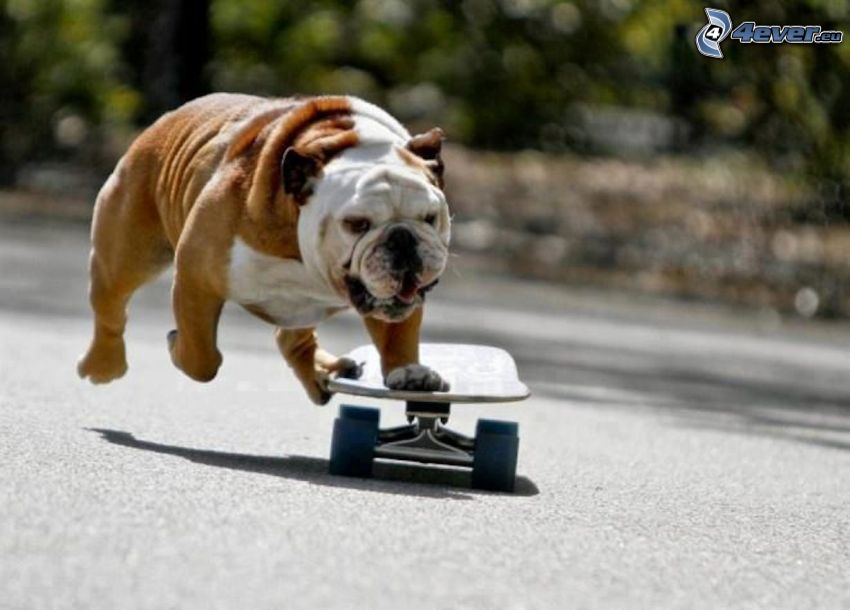 Bulldog inglese, skateboard