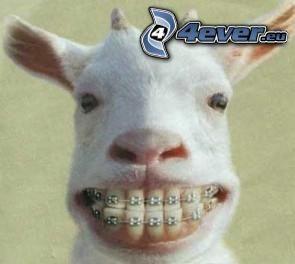 capra, bretelle sui denti, denti