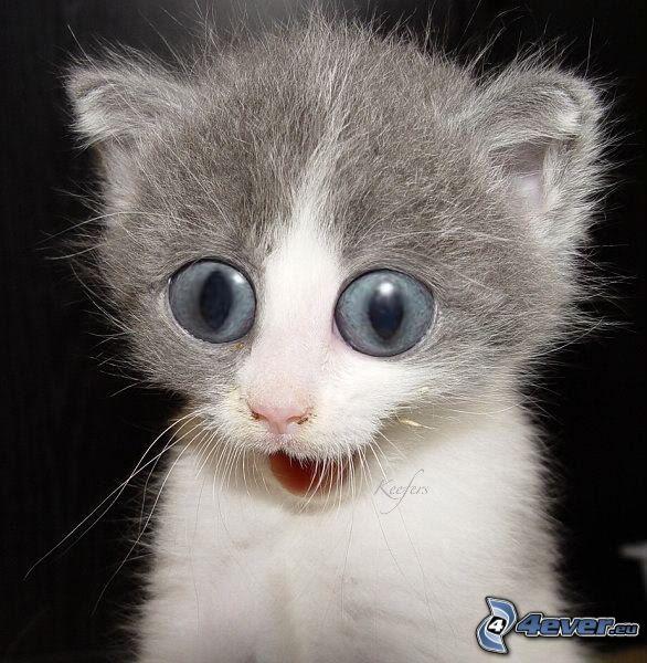 gattino, sguardo, occhi grandi
