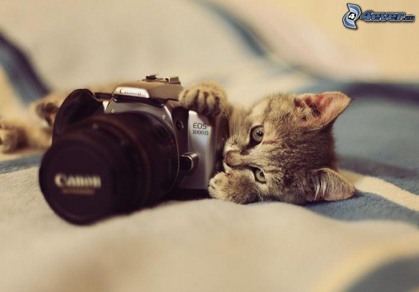 gattino grigio, fotocamera, Canon EOS 3000