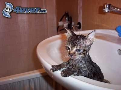 gatto bagnato, lavandino