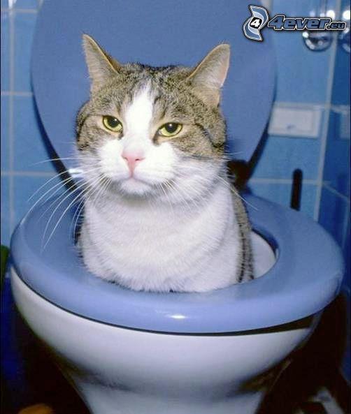 gatto nel WC, WC
