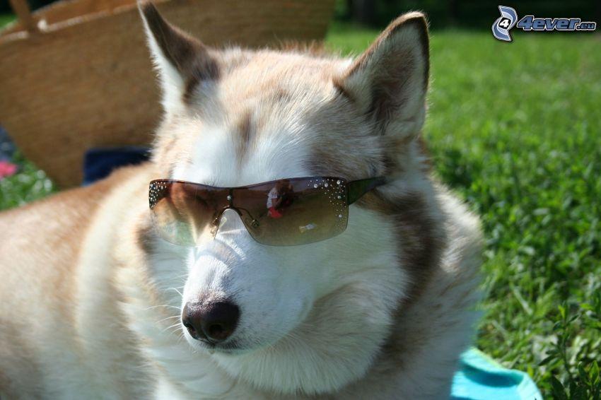 Husky con occhiali da sole, l'erba