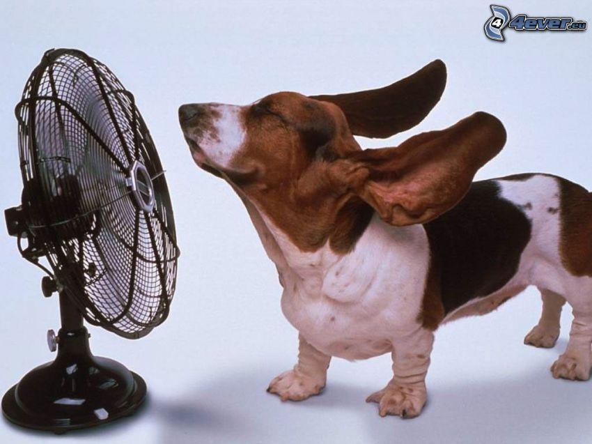 le orecchie svolazzanti, ventilatore, cane