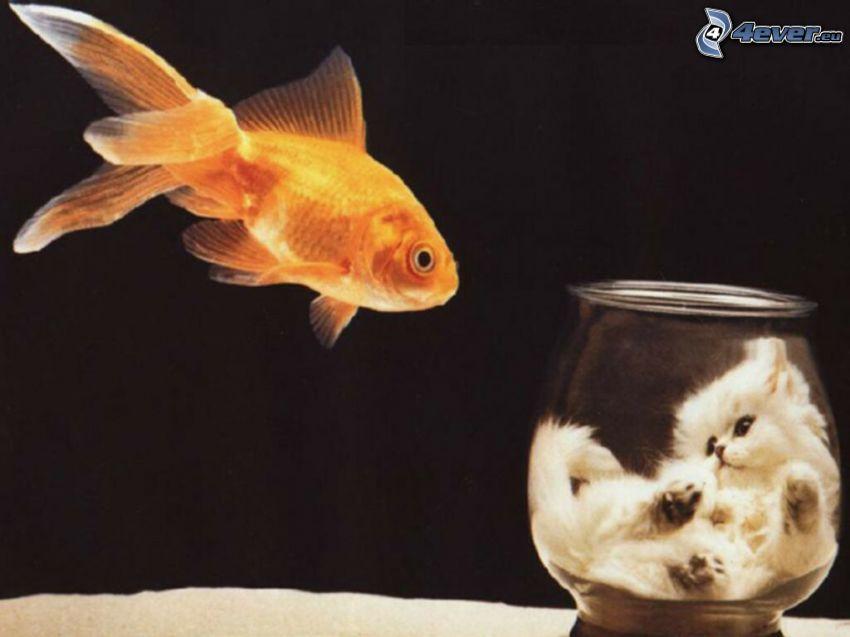 pesce d'oro, gattino