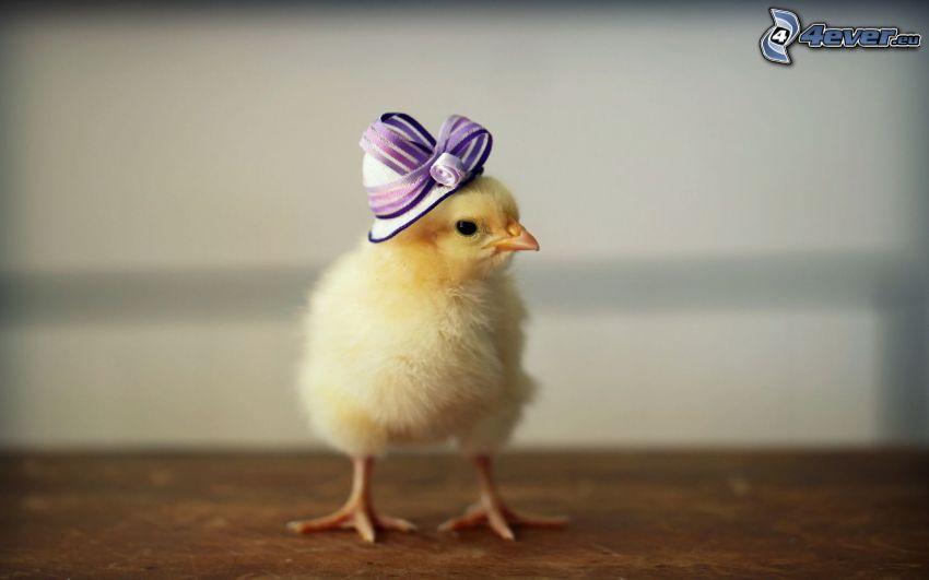 pulcino, cappello