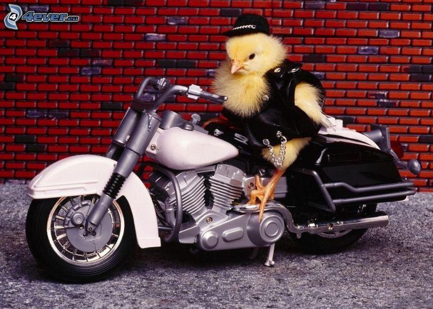 pulcino, motocicletta