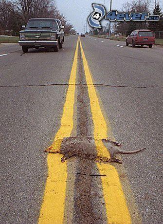 ratto, strada diritta