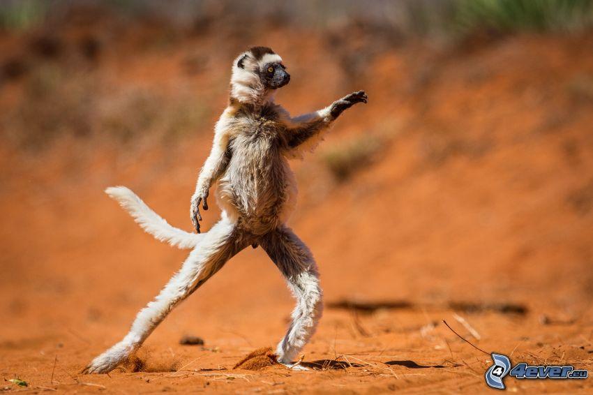 scimmia, posa