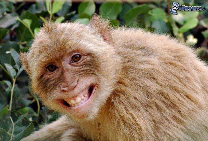 scimmia, sorriso