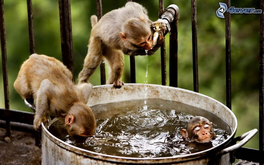 scimmie, bicchiere