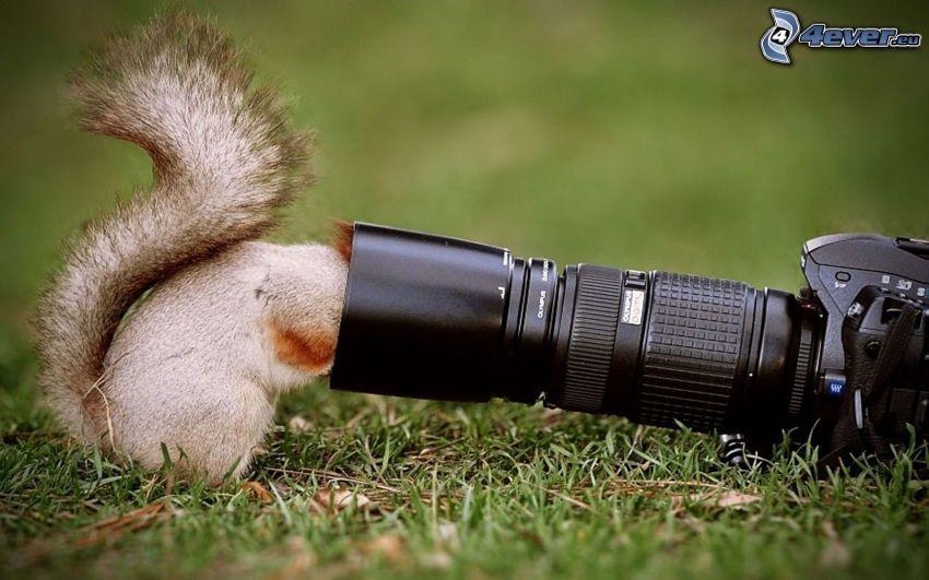 scoiattolo, fotocamera, l'erba