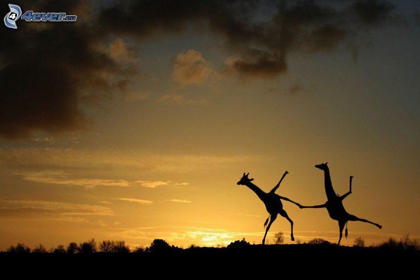 siluette di giraffe