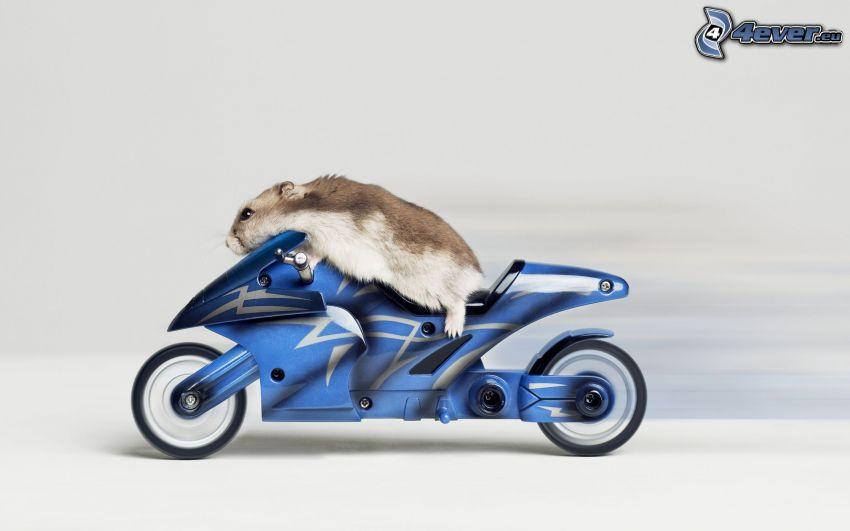topo, criceto, motocicletta