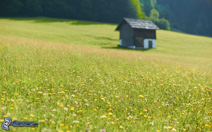 capanna, prato, fiori di campo