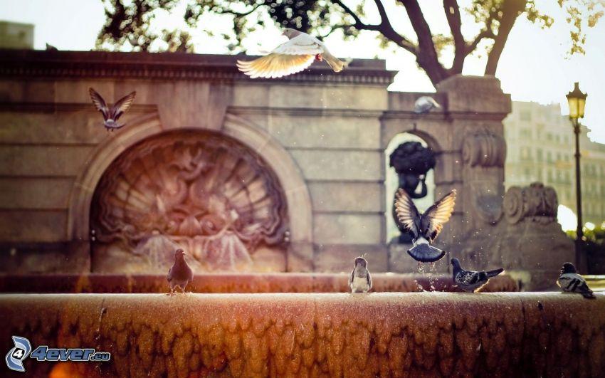 piccioni, fontana