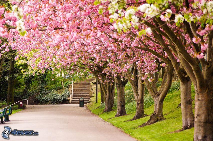 alberi in fiore, strada, scale