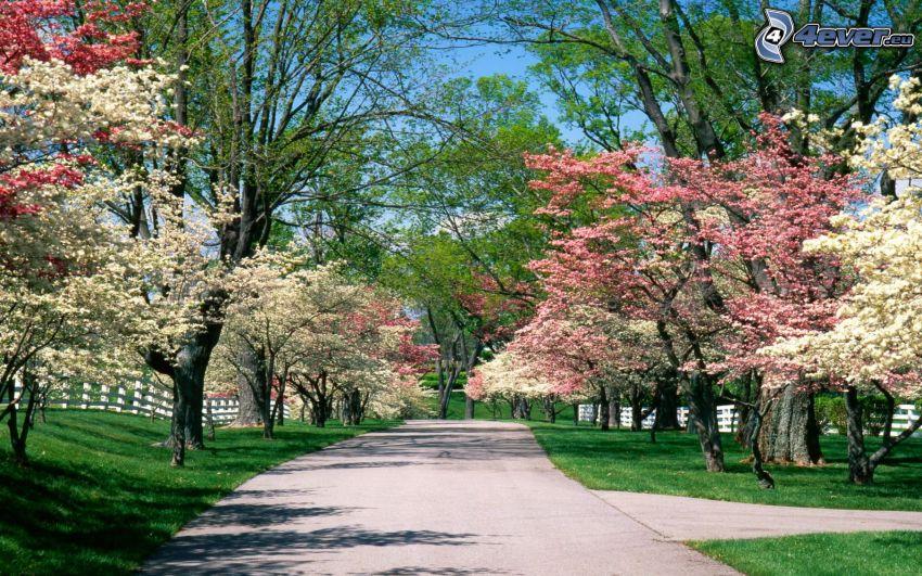alberi in fiore, strada