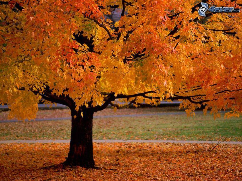 albero autunnale, parco, foglie