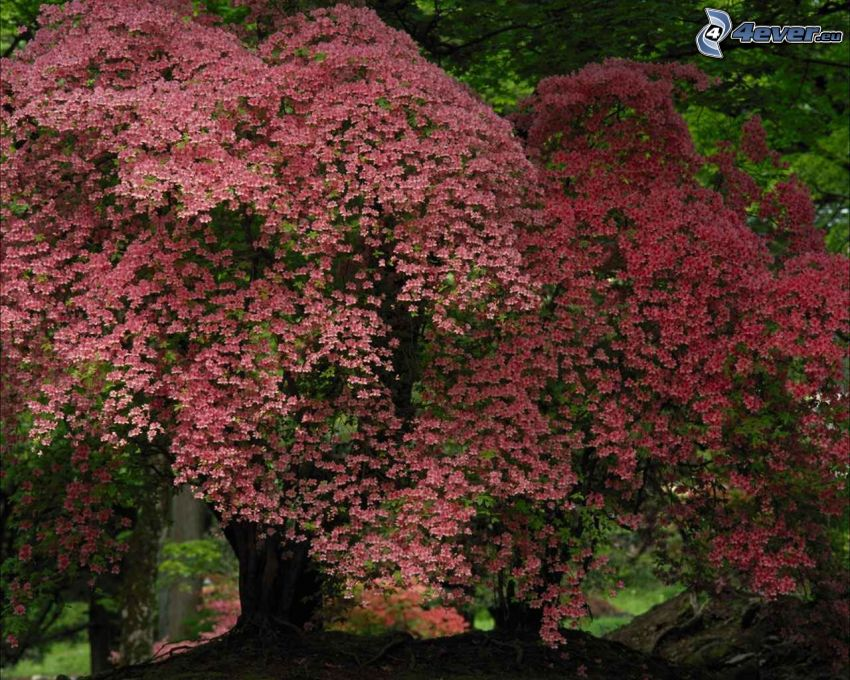 albero fiorito, parco