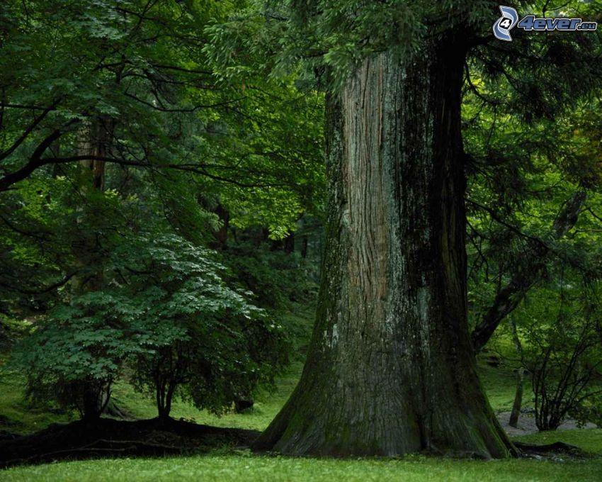 grande albero, parco, foresta