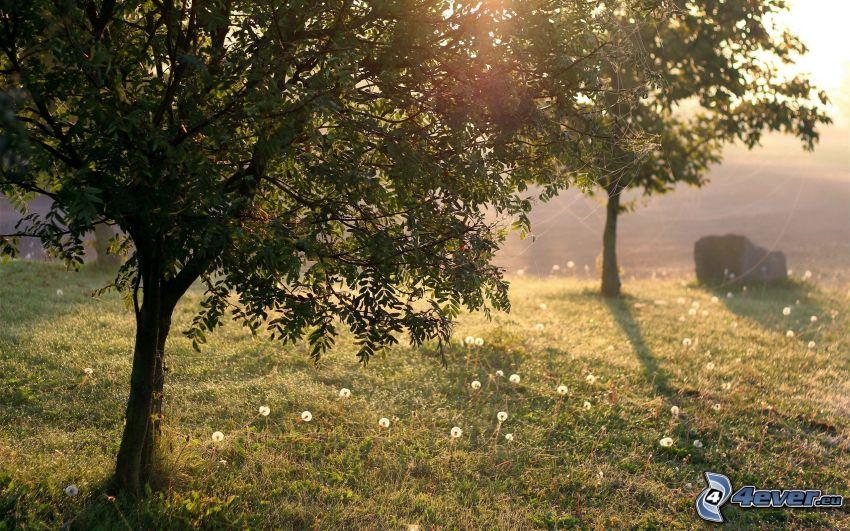 alberi, l'erba, soffione, sole