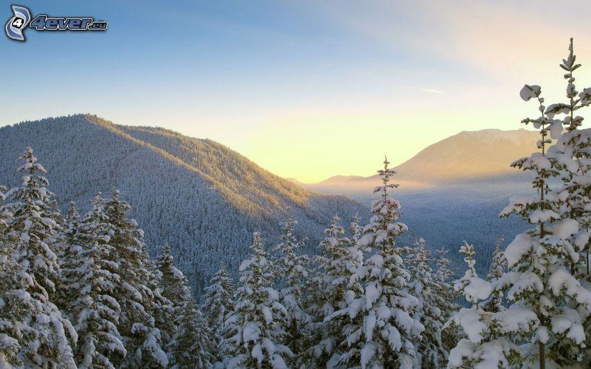 alberi coperti di neve, montagne, foresta