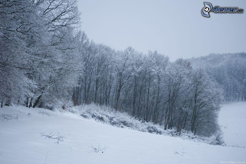 alberi coperti di neve, prato nevoso