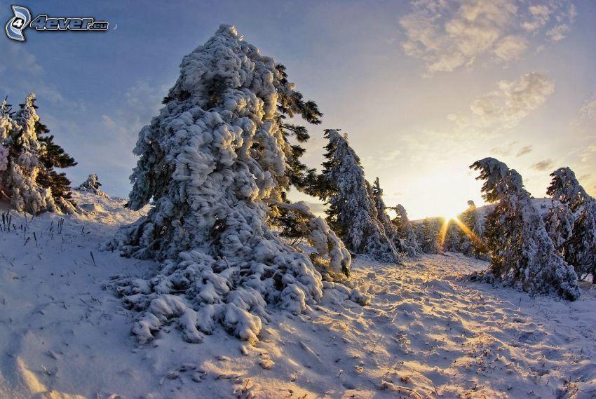 alberi coperti di neve, raggi del sole