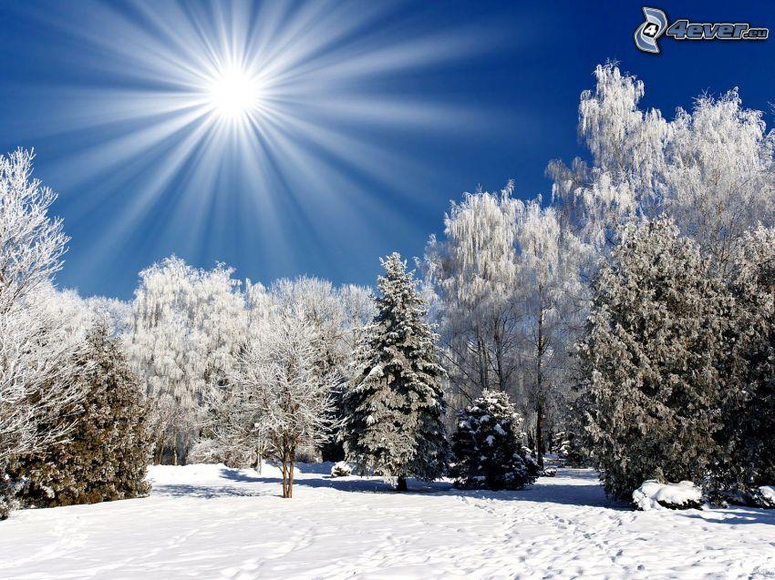 alberi coperti di neve, sole