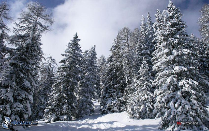alberi coperti di neve, Svizzera