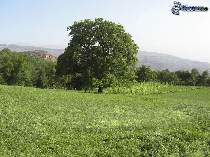 albero frondoso, alberi, prato, montagna