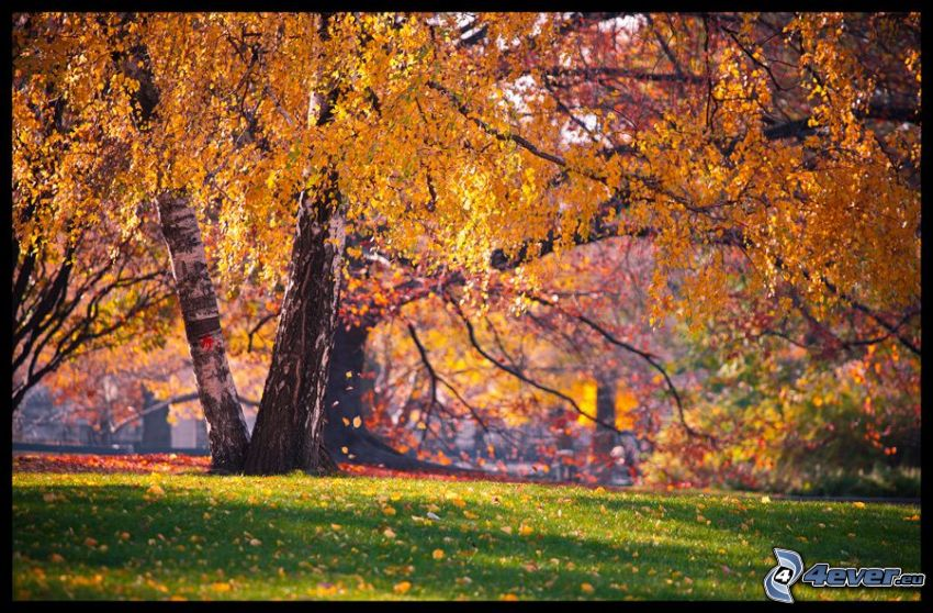 albero giallo, betulla