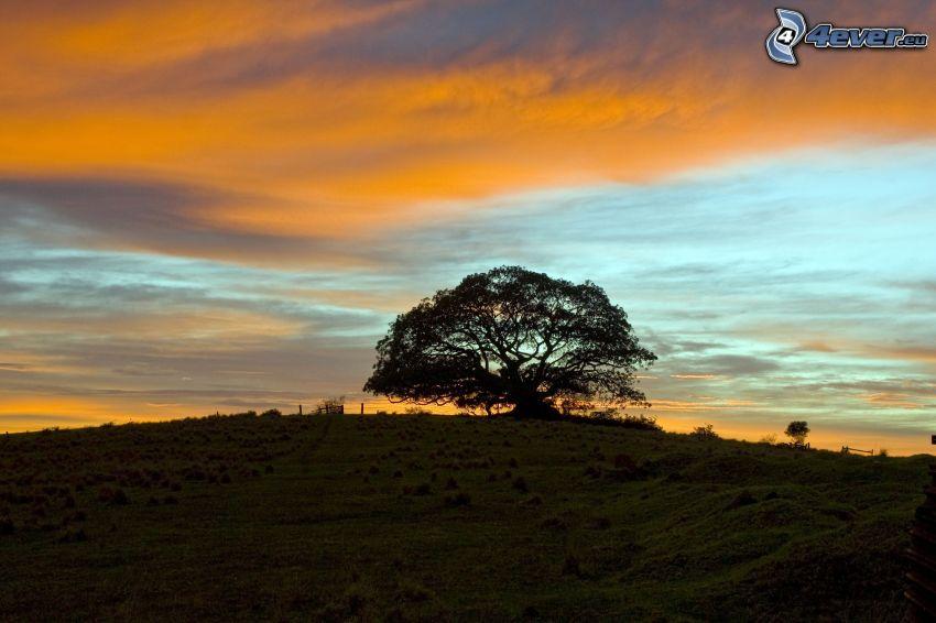 albero solitario, albero frondoso, prato, cielo di sera
