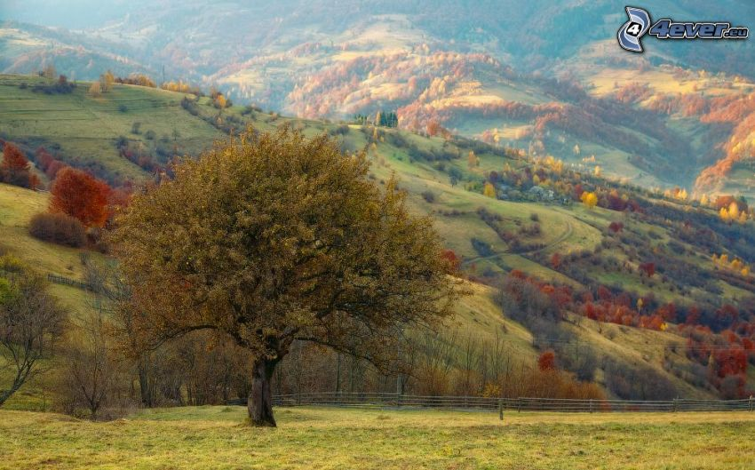 albero solitario, colline, alberi colorati d'autunno