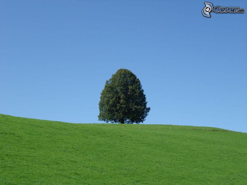 albero solitario, prato