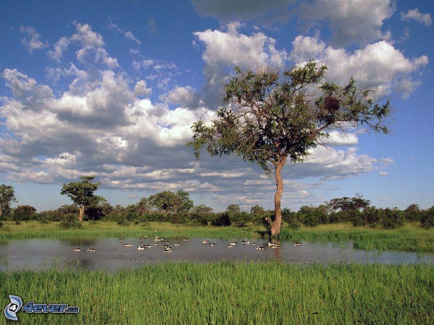 albero sopra un lago, paludi, uccelli, nuvole