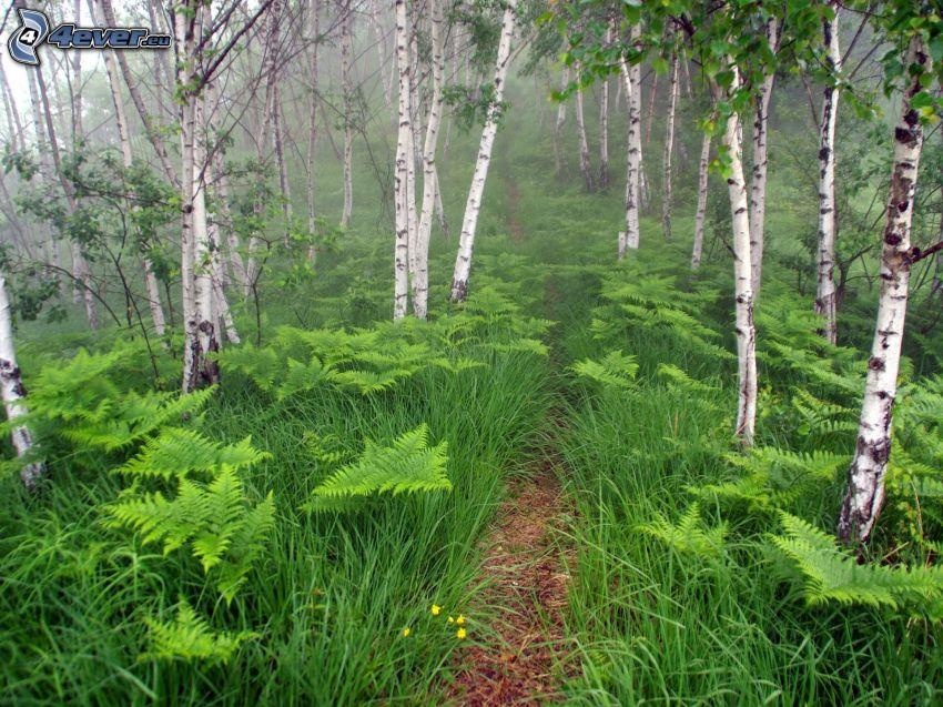 bosco di betulle, strada forestale, felci