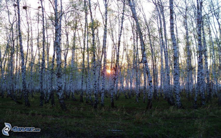bosco di betulle, tramonto nella foresta