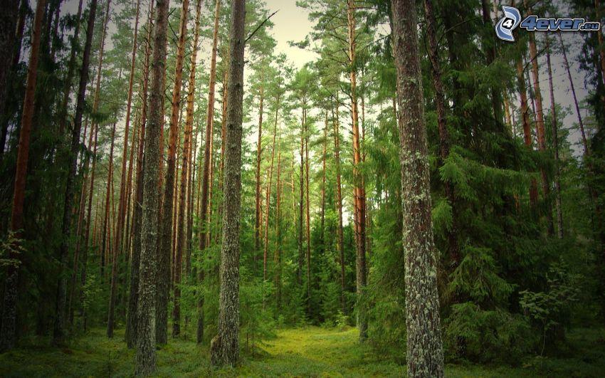 bosco di conifere